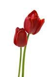 Fototapety Zwei Tulpen