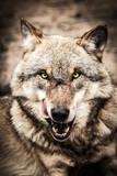 Fototapeta pies - jeść - Dziki Ssak