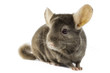 chinchilla on white