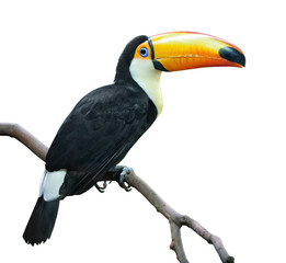 Toucan isolated on white