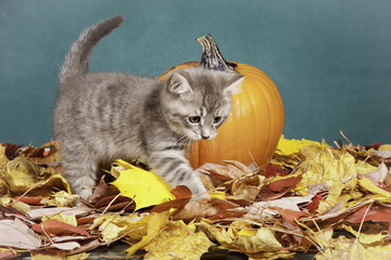 Kitty walks away from pumpkin.