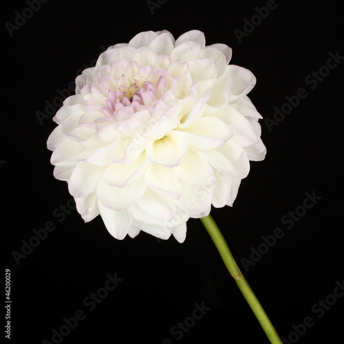 White dahlia isolated on black