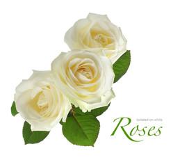 three white roses isolated on white