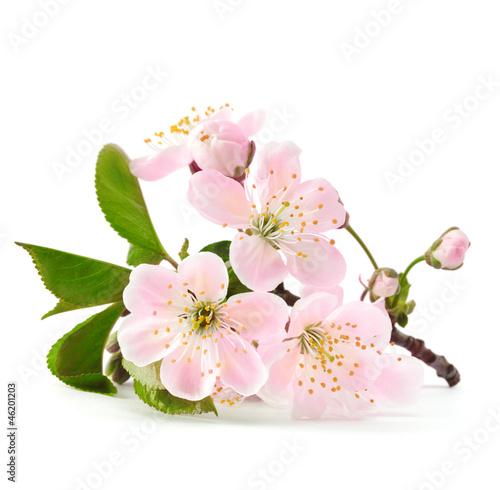 Aluminium Kersen cherry twig in bloom isolated