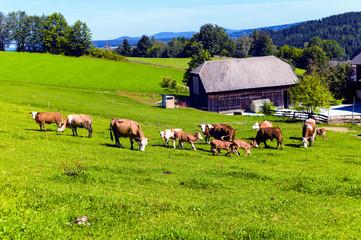 Glückliche Kühe auf Almwiese