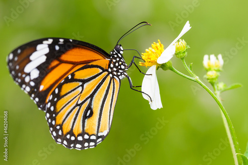 Fototapety, obrazy : Closeup Butterfly on Flower