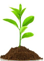 plant de citronnier