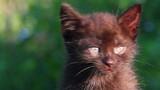 little black kitten plaintively mew outdoor  poster