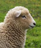 Wooly Sheep