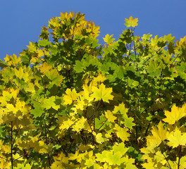 Autumn colour of maple leaves