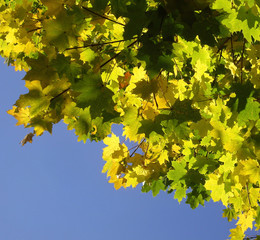 Yellow and green leaves of a maple