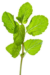green leaves of fresh mint