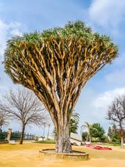 Drago centenary in Genoves Park, Cadiz