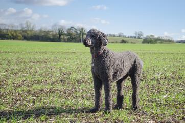 Grey standard Poodle standing alert