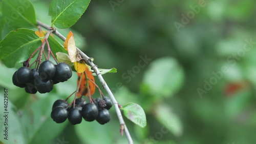 Black Chokeberries (Aronia) on bush in garden