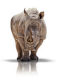 Breitmaulnashorn - white rhino