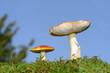 2 Pilze auf der Wiese