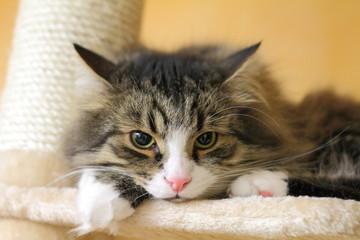 Gatto siberiano sul tiragraffi