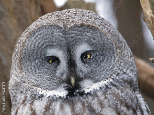 Portrait of great grey owl - Strix nebulosa nebulosa