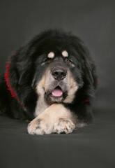 Tibetan mastiff on a black background.