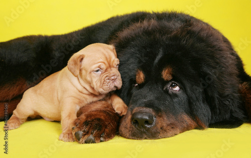 Big dog and the little puppy