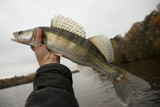 Walleye caught on gloomy autumn day