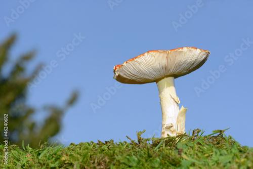 Pilz auf der Wiese