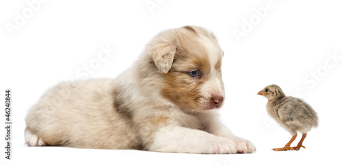 Australian Shepherd puppy, 30 days old