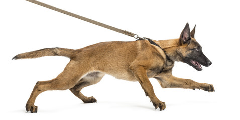 Belgian Shepherd leashed, trying to run against white background