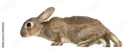 European rabbit or common rabbit, 2 months old
