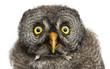 Great Grey Owl or Lapland Owl, Strix nebulosa
