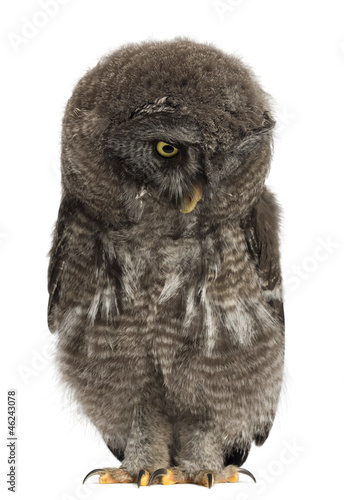 Great Grey Owl or Lapland Owl looking down, Strix nebulosa