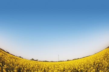 Fish eye view of yellow flowers field with blue sky
