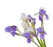 iris bouquet of flowers isolated