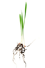 green wheat with root isolated