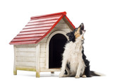 Border Collie sitting and barking next to a kennel poster