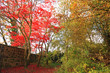Red Japanese Maple tree in the park