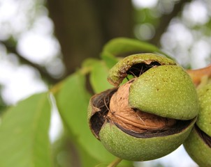 ripe walnut