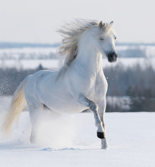 White stallion galloping