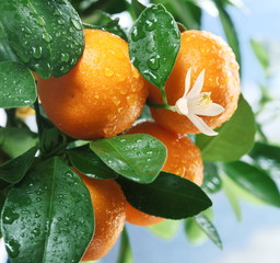 Ripe tangerines on a tree branch.