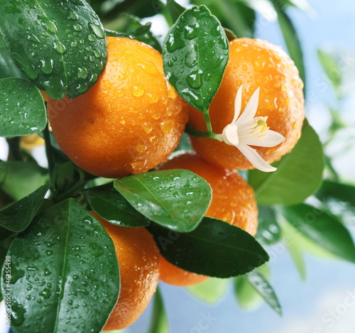 Ripe tangerines on a tree branch. © volff