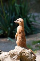 A watchful standing meerkat, looking to the left