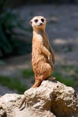 A watchful standing meerkat with brown/orange fur