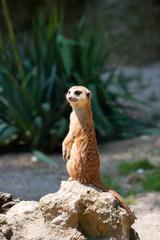 A standing meerkat
