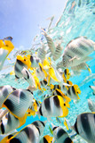 Fotoroleta Butterfly fish