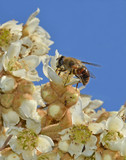 fly disguised as bee on medlar flowers
