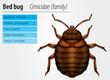 Cimicidae- Bedbug