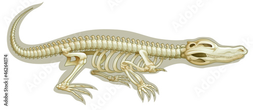 Crocodile skeletal system