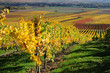 Vineyards in autumn colours. The Rhine valley, Germany