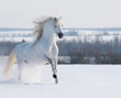 White stallion galloping